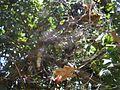 Netz einer Opuntienspinne im Johannisbrotbaum.jpg