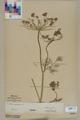Neuchâtel Herbarium - Anethum graveolens - NEU000005515.tiff