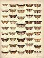 New Zealand Moths and Butterflies (1898) 05.jpg