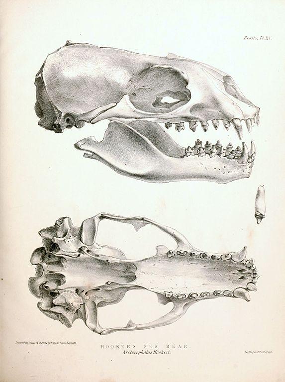 File:New Zealand Sea Lion skull 1844.jpg - Wikimedia Commons