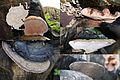 Nice Ganoderma adspersum or G. australe or G.tornatum (GB= Polyporus Australis or Southern Bracket, D= Wulstige Lackporling, F= Ganoderme d'Europe, NL= Dikrandtonderzwam) brown spores and causes white rot. Collage wit - panoramio.jpg