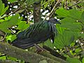 Nicobar Pigeon Caloenas nicobarica (6969975956).jpg