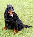 Nike the Gordon Setter (18 June 2005).jpg