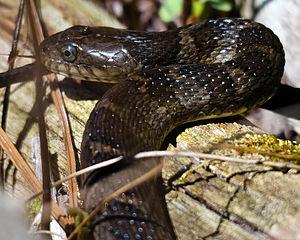 Northern water snake - Northern water snake basking west of Ottawa, Ontario