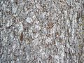 Norway Spruce bark detail.jpg
