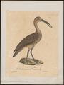 Numenius hudsonicus - 1825-1834 - Print - Iconographia Zoologica - Special Collections University of Amsterdam - UBA01 IZ17400067.tif