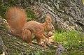 Nutty squirrel (explored) - Flickr - hedera.baltica (2).jpg