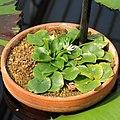Nymphaea thermarum-IMG 5505.jpg
