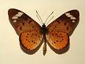 Nymphalidae - Acraea encedon.JPG