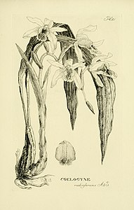 Oakes Ames - Orchidaceae. Illustrations and studies of the family Orchidaceae - Fascicle VI - plate 081 (1920).jpg