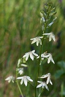 <i>Odontostomum</i> species of plant