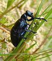 Oil Beetle. Meloe violaceus - Flickr - gailhampshire.jpg