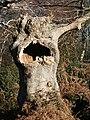 Old tree in Burnham Beeches - geograph.org.uk - 64701.jpg