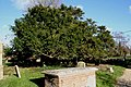 Old yew in the churchyard - geograph.org.uk - 1057014.jpg