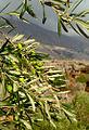 Olive trees on Crete (13270850295).jpg