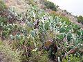 Opuntia ficus-indica - Cactus above Avalon Catalina Island.jpg