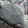 Opuntia filifera.jpg