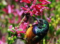 Orange-breasted Sunbird, Anthobaphes violacea (8418495713).jpg