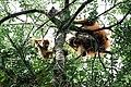 Orangutan Tapanuli.jpg