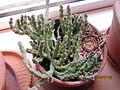 Orbea variegata (Stapelia) (3772565110).jpg