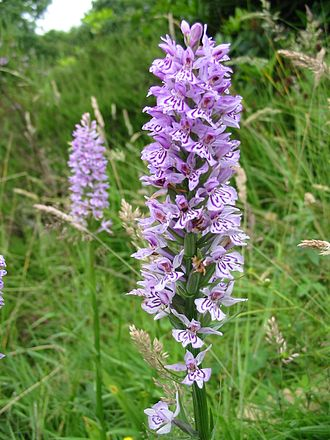 Moses Gate Country Park - Orchid at Nob End