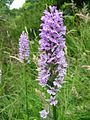 Orchidaceae at Nob End, Bolton (103-0346).jpg