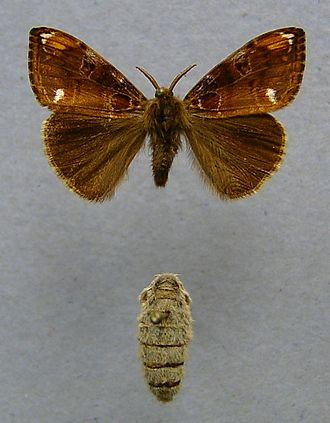 Insect -  The different forms of the male (top) and female (bottom) tussock moth Orgyia recens is an example of sexual dimorphism in insects.