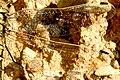 Orthetrum.cancellatum.wing.detail.jpg