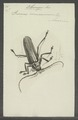 Orthomegas - Print - Iconographia Zoologica - Special Collections University of Amsterdam - UBAINV0274 032 04 0018.tif