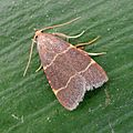Orthopygia glaucinalis - Flickr - gailhampshire.jpg