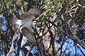 Osprey ( she is on the move again ) - Flickr - friendsintheair.jpg
