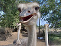 Ostriches in a farm.jpg