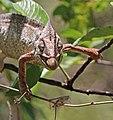 Oustalet's chameleon (Furcifer oustaleti) male feeding Anja Community Reserve 1e.jpg