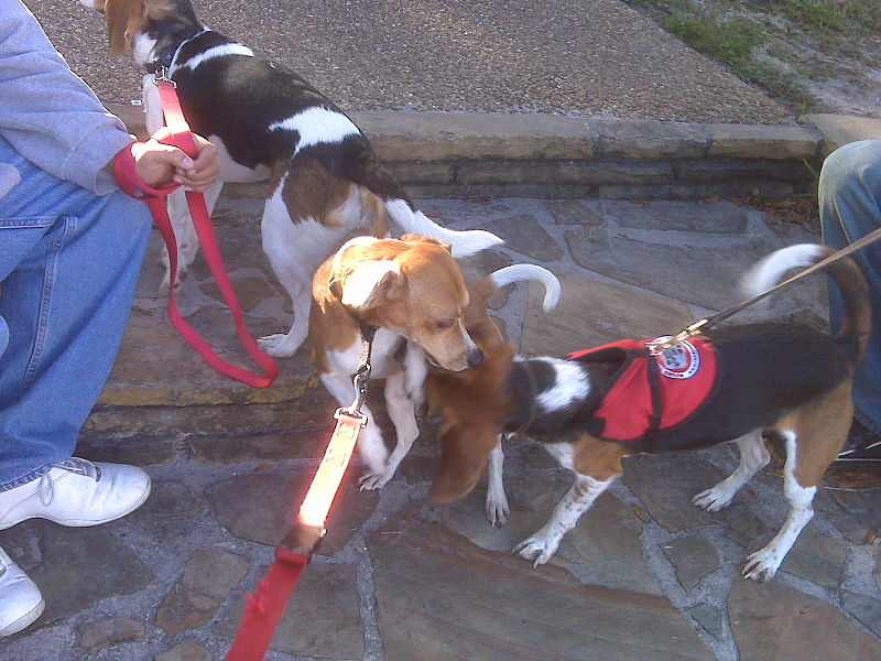 File:Ozzy, Toby and Becca The Bed Bug Scent Detection Beagles.jpg