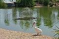 Pélican et bassin du parc Phoenix de Nice.jpg