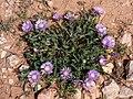 P1090612(4x3)-Centaurea pullata (43367607821).jpg