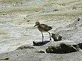 Pacific Golden Plover (32198817286).jpg