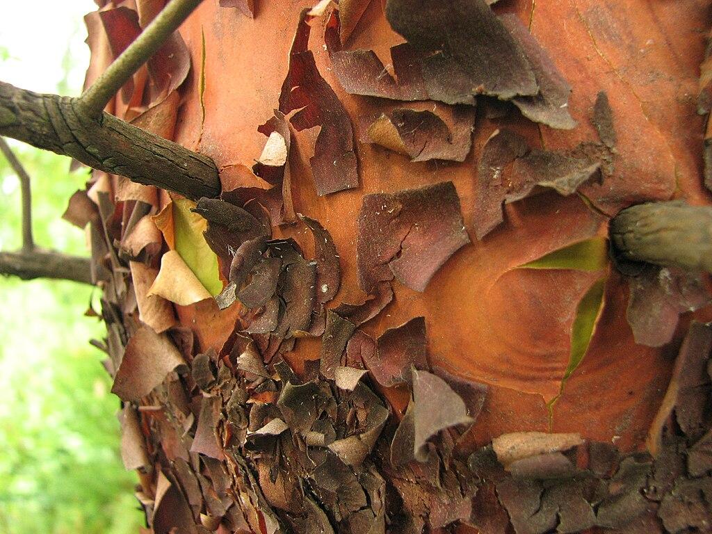 Pacific Madrone Arbutus menziesii Peeling tree bark2