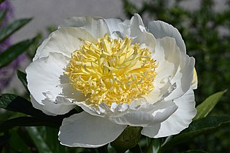 Paeonia lactiflora - 'Gold Rush' with white petals.