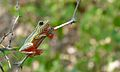 Painted Reed Frog (Hyperolius marmoratus) (5984641944).jpg