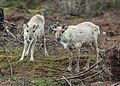 Pair of Rangifer, near Gloppen, Norway 20150603 1.jpg