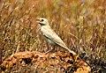 Pale rockfinch (ഇളം പാറക്കുരുവി ) - 17.jpg
