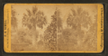 Palmetto tree, by F. A. Nowell.png