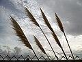 Pampas Grass Silhoutte Eureka CA.JPG