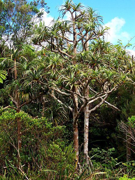 File:Pandanus montanus habit.JPG