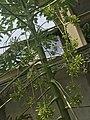 Papaya plant with flowers.jpg