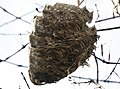 Paper Wasp Nest (22362271188).jpg
