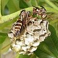 Paper wasps (8443551093).jpg