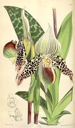 Paphiopedilum argus (as Cypripedium argus) - Curtis' 101 (Ser. 3 no. 31) pl. 6175 (1875).jpg