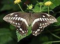Papilio constantinus.jpg